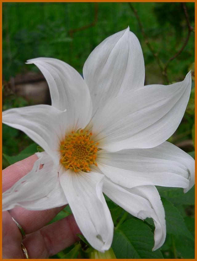 Dahlia imperialis - Page 3 P1170280-163332e