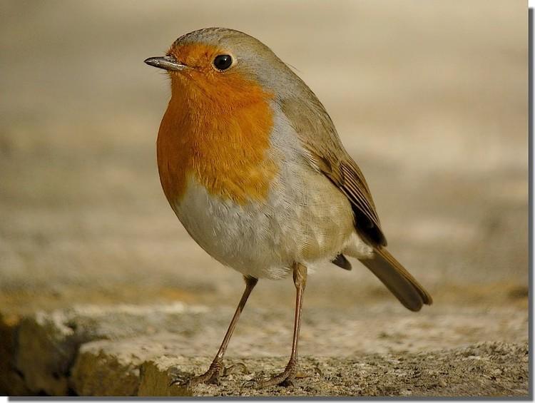 Petits oiseaux en digiscopie for Les petits oiseaux