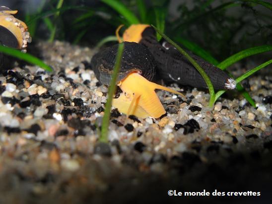 Mes nouveau Tylomelania 20091003_35-13b819a