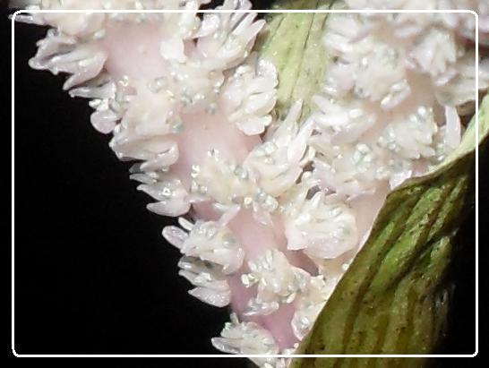 L'évolution d'une fleure  Aponogeton boivinianus Fleur-1edead4