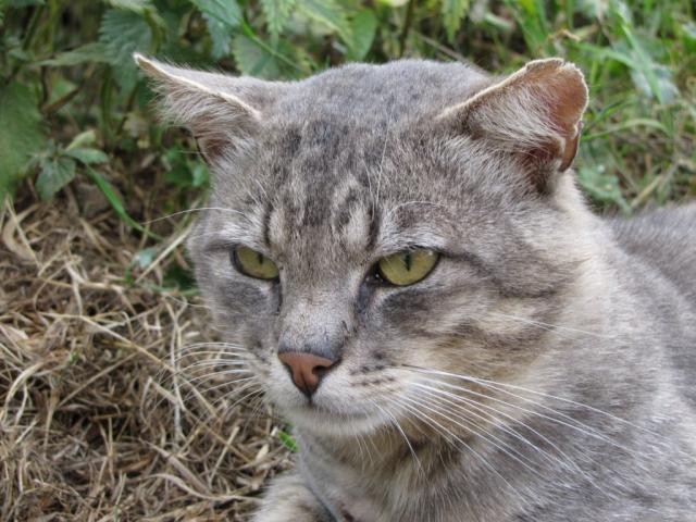 Spider chat tigré gris mâle FIV+ de 08/2005 - dpt 56 Img_0272-1eb8c98